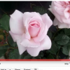 """""""Caring for Your Hybrid Tea Rose"""""""